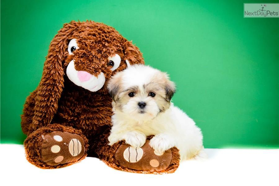 Lindsey shichon puppies for sale