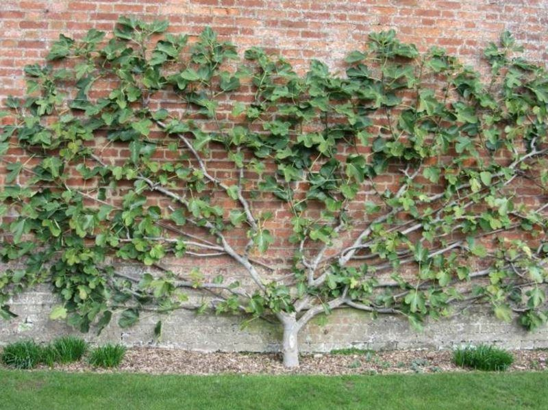 Spalier obstbaum backsteinwand garten garten drau en garden espalier fruit trees und fruit - Spalier garten ...