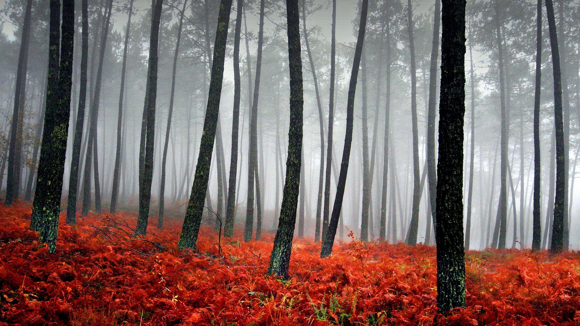 misty forest Red Misty Forest Wallpaper User Duvar