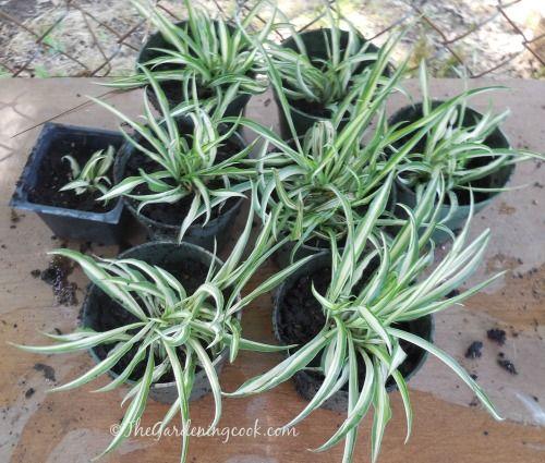 Propagating Spider Plant
