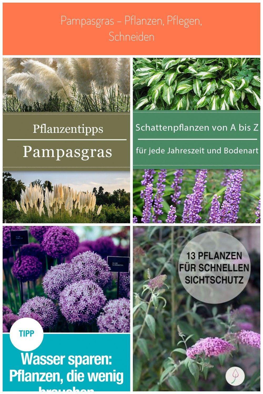 Buschige Schonheit Pflanzen Garten Gardening Pampasgras Pflanzentipps Pflanzen Garten Pampasgras Pflanzen Pf In 2020 Pampasgras Pflanzen Pflanzen Pampasgras