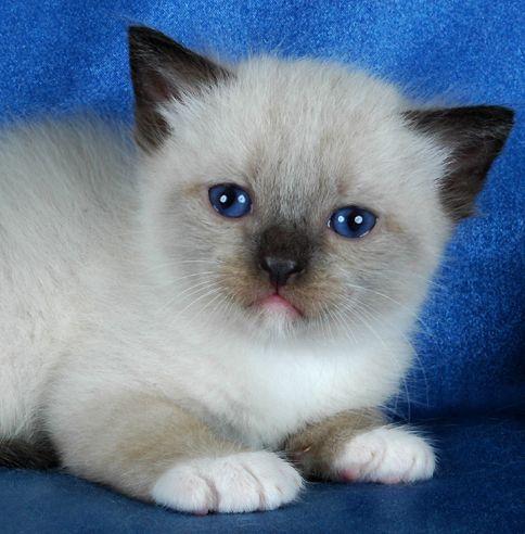 Blue Gem Ragdoll Cats Photo Gallery Ohio Ragdoll Cat Ragdoll Cat Breeders Cats And Kittens