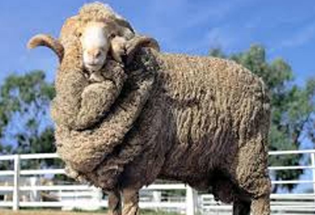 The Prized Merino Sheep With Its Fabulously Thick Fleece Sheep Breeds Merino Sheep Sheep And Lamb