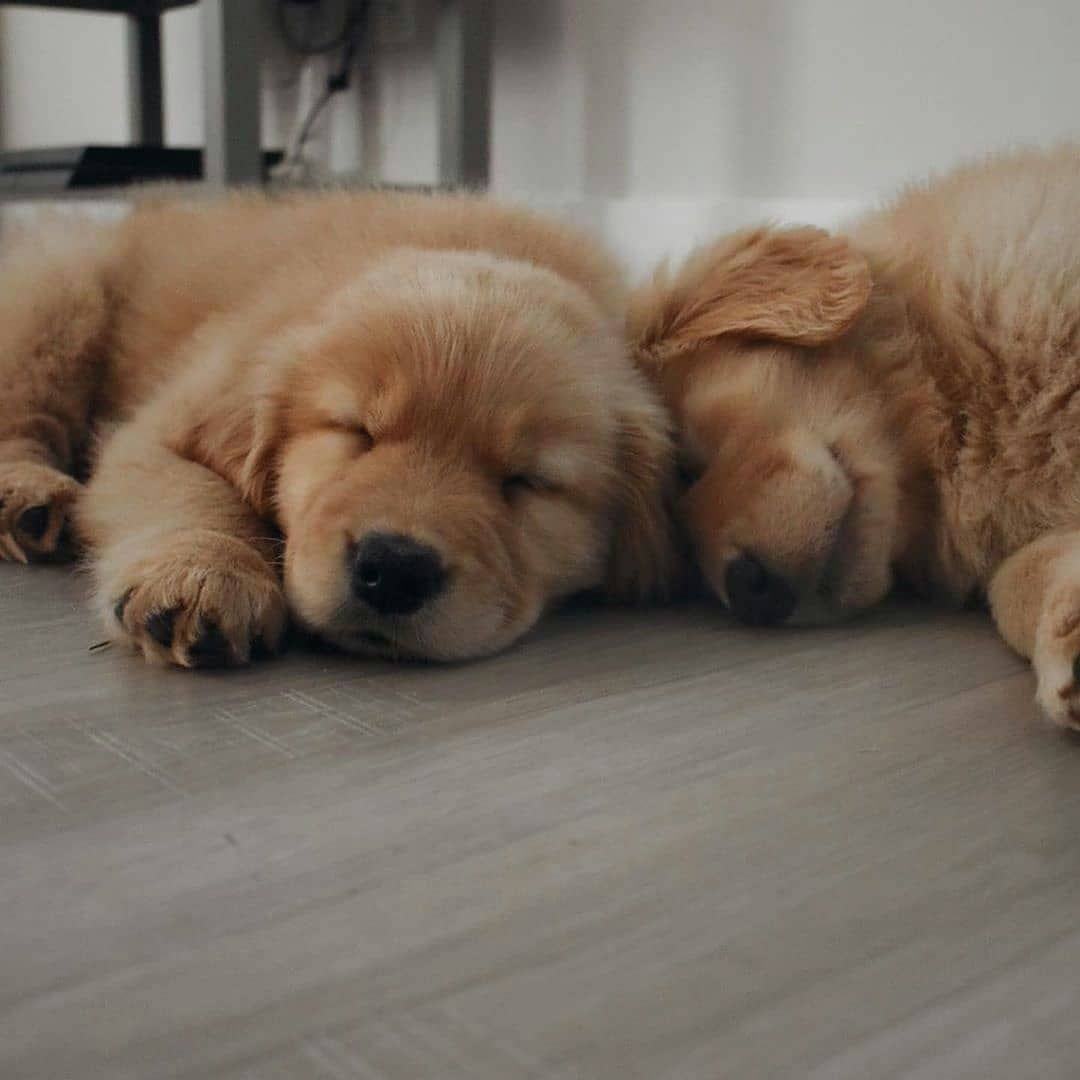 Tag Ya Partner Picture By Miloandoaks Via Retrieverpuppies Tag Your Friends Who Need To See This Cuties Don Golden Retriever Dogs Retriever