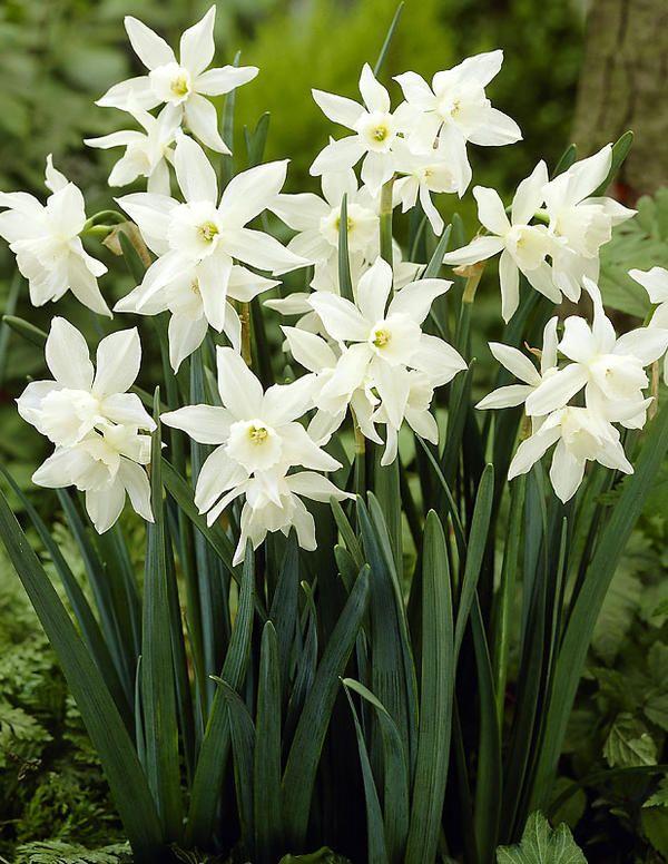 Orkideanarsissi Thalia - Viherpeukalot