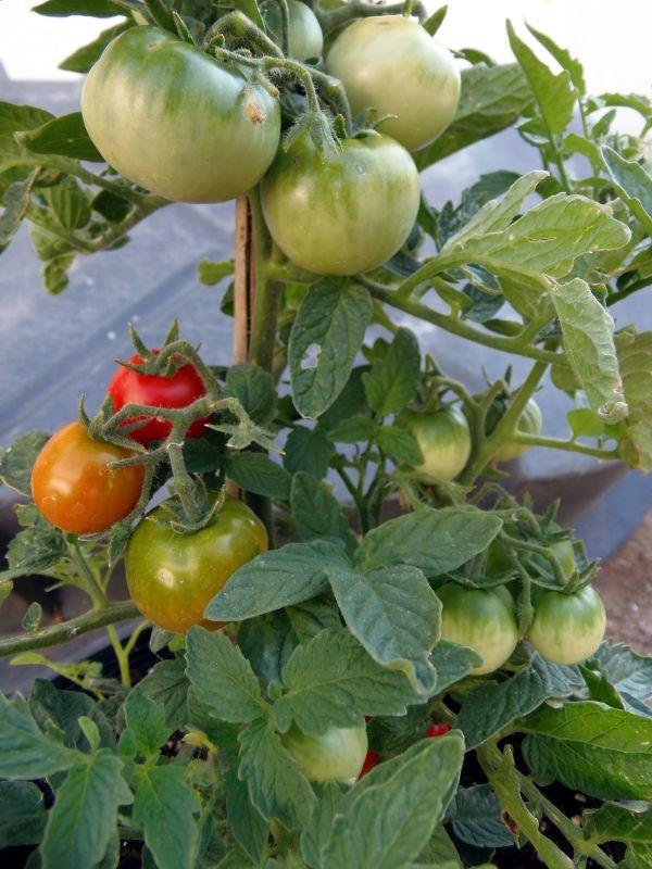 Czech Bush Dwarf Tomato Growing Organic Vegetables 400 x 300