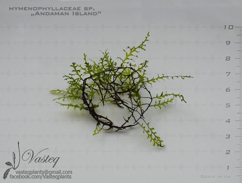 HymenophyllaceaeAdmanIsland