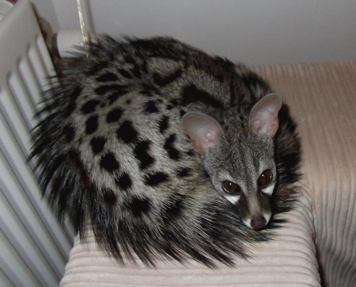 Irmo Bos Photos Videos Of Our Spotted Genets Facebook Unusual Animals Small Wild Cats Rare Animals