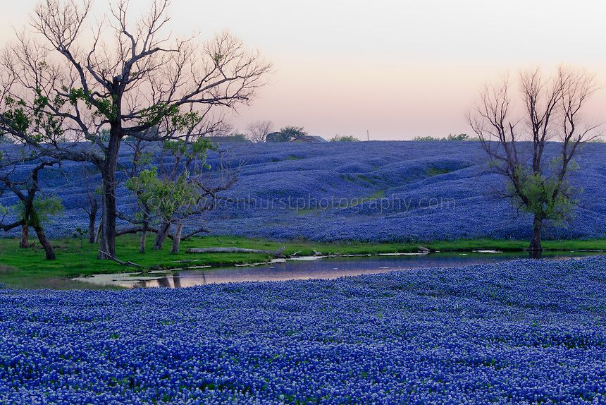 Vast Field Of Bluebonnet Flowers Texas State Flower Along The