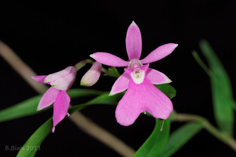 Miniature Orchid Oerstedella Centradenia Orquidea Flores