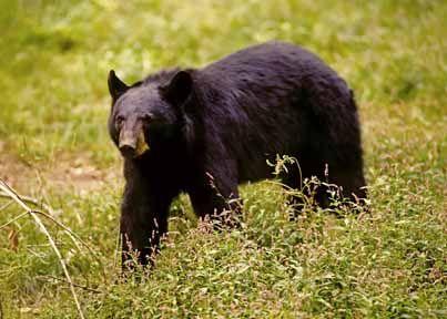 Black Bear At Tygart Lake Tygart Lake Pinterest Virginia And - Us maps virginia animap