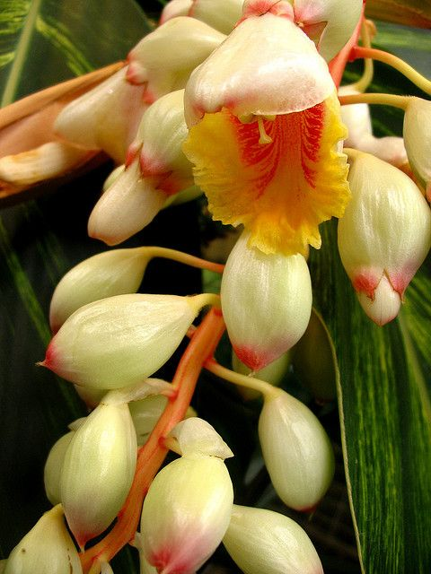 Pin On Ginger Flowers