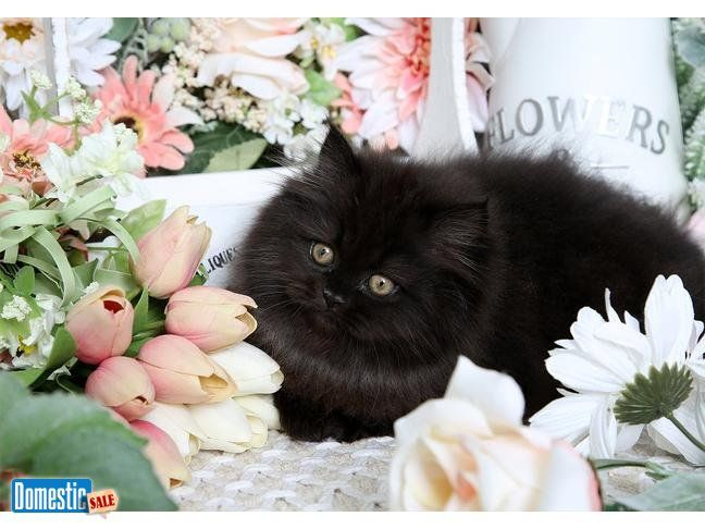 Stunning Black Persian Kitten For Sale Find Out More About This Darling Little Black Persian Female Kitten Persian Kittens Persian Kittens For Sale Persian Cat