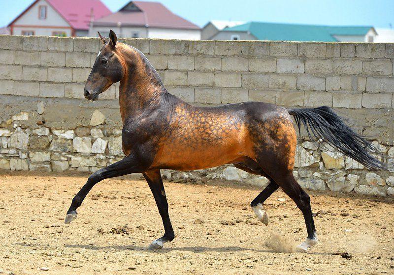 Turkmene Pferd