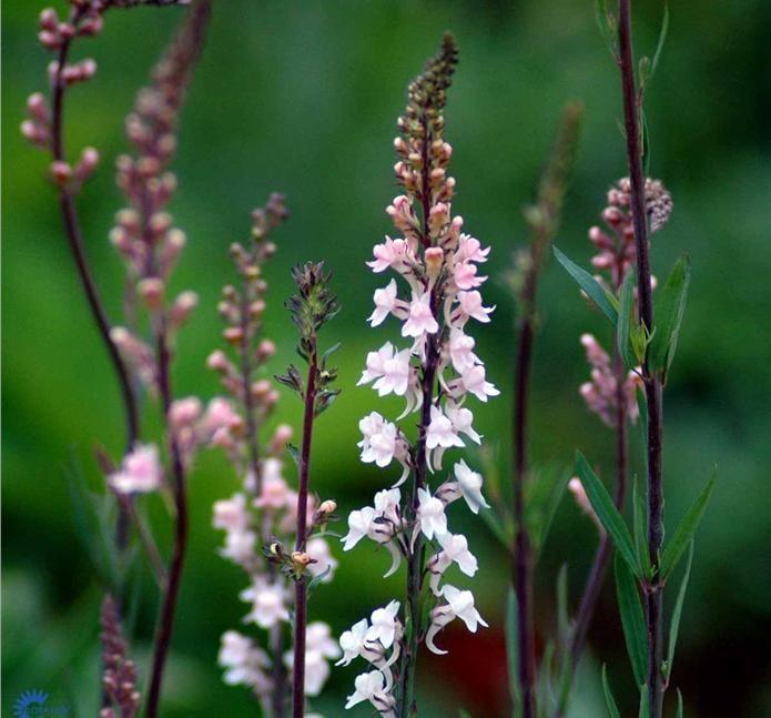 Linaria pur. 'Canon J Went' / Purpur Torskemund Blomstrer i maj-august måned 6 pr. kvm - Vokser i almindelig fugtig, men veldrænet havejord, 0,5-1 m mellemhøj staude Blomstrer i maj-august måned. Små violette blomster.
