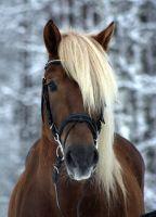 Finnish horse stallion