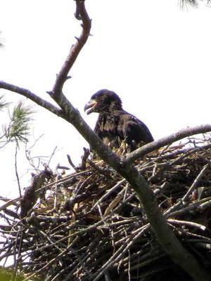 Bald Eagle Nest London Ontario Bald Eagle Eagle Nest Eagle