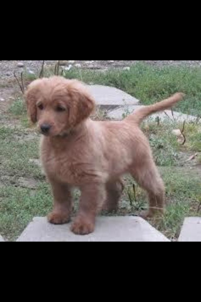 Golden Cocker Grown Puppy Forever I Want One Products I