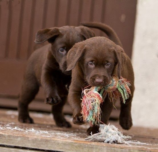 Beautiful Chocolate Brown Adorable Dog - 7748efe2af97ab46507454c65464e410  Pictures_926110  .jpg