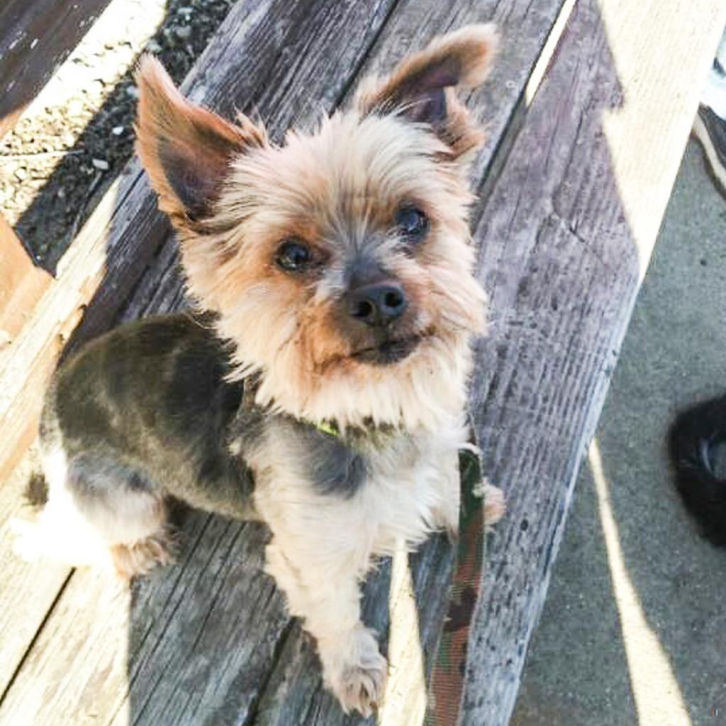 Back home dog yorkshire terrier yorkie bethlehem twp