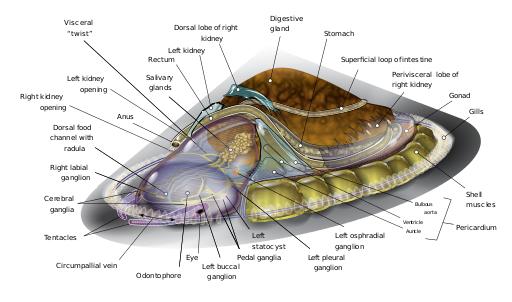 saltwater limpet diagram en limpet wikipedia, the free