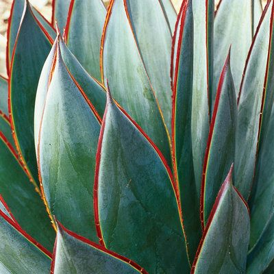 Agave 'Blue Glow'  Rosettes of smooth spineless foliage have a distinctly blue cast (A. 'Blue Flame' is similar). Leaves grow 2½ feet long. Prefers a bit of shade in low desert.