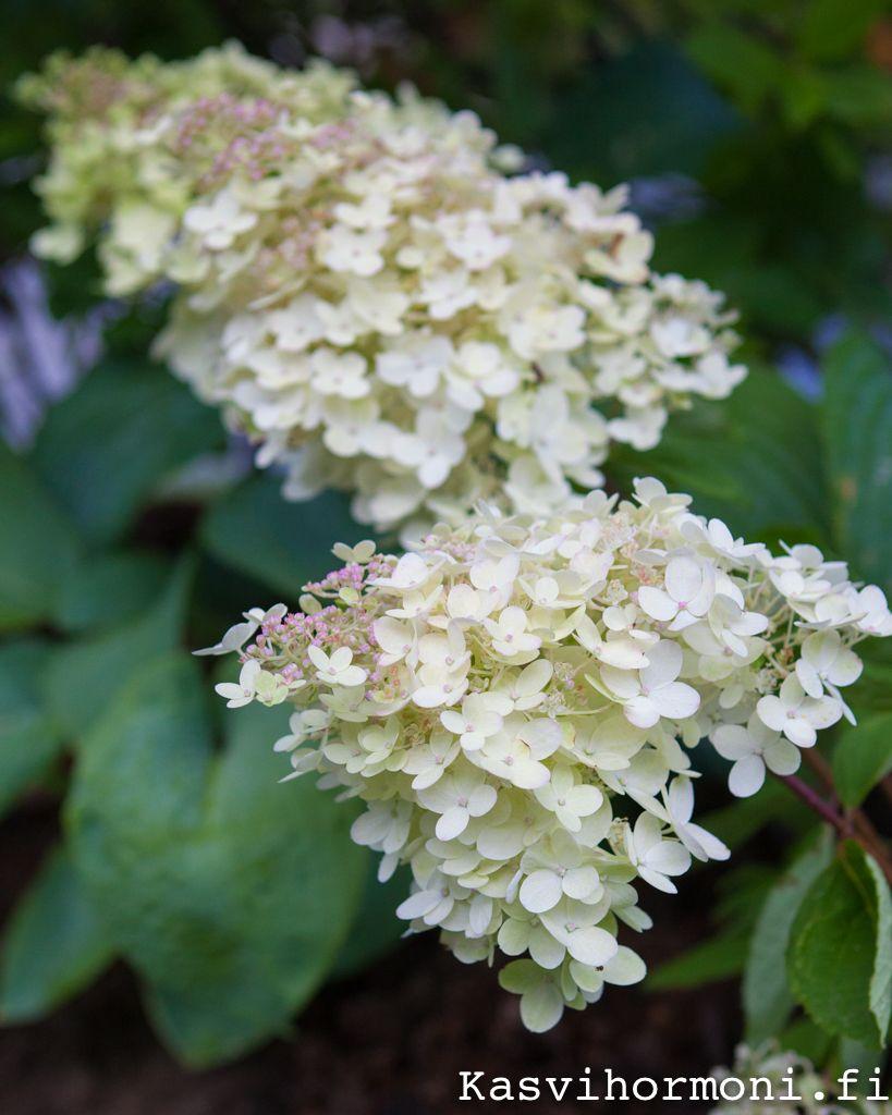 Syyshortensia 'Grandiflora' hurmaa loppukesän puutarhassa. Photo Sini Kuha Viherpiha.fi