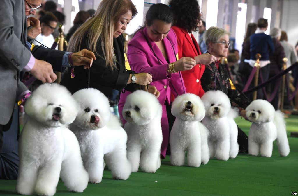 February 12 2019 Bichon Frises Gather In The Judging Ring During