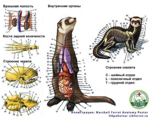 ferrets ferrets weasels hurones | FERRET ANATOMY | Pinterest ...