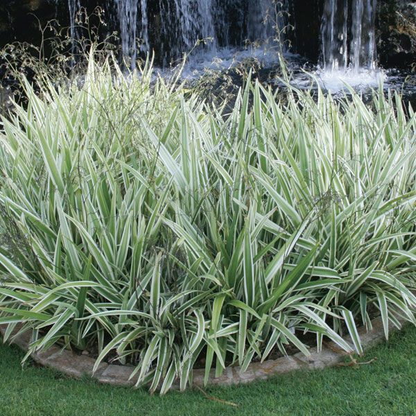 Variegated flax lily 39 vairegata 39 dianella tasmanica my for Variegated grass plant