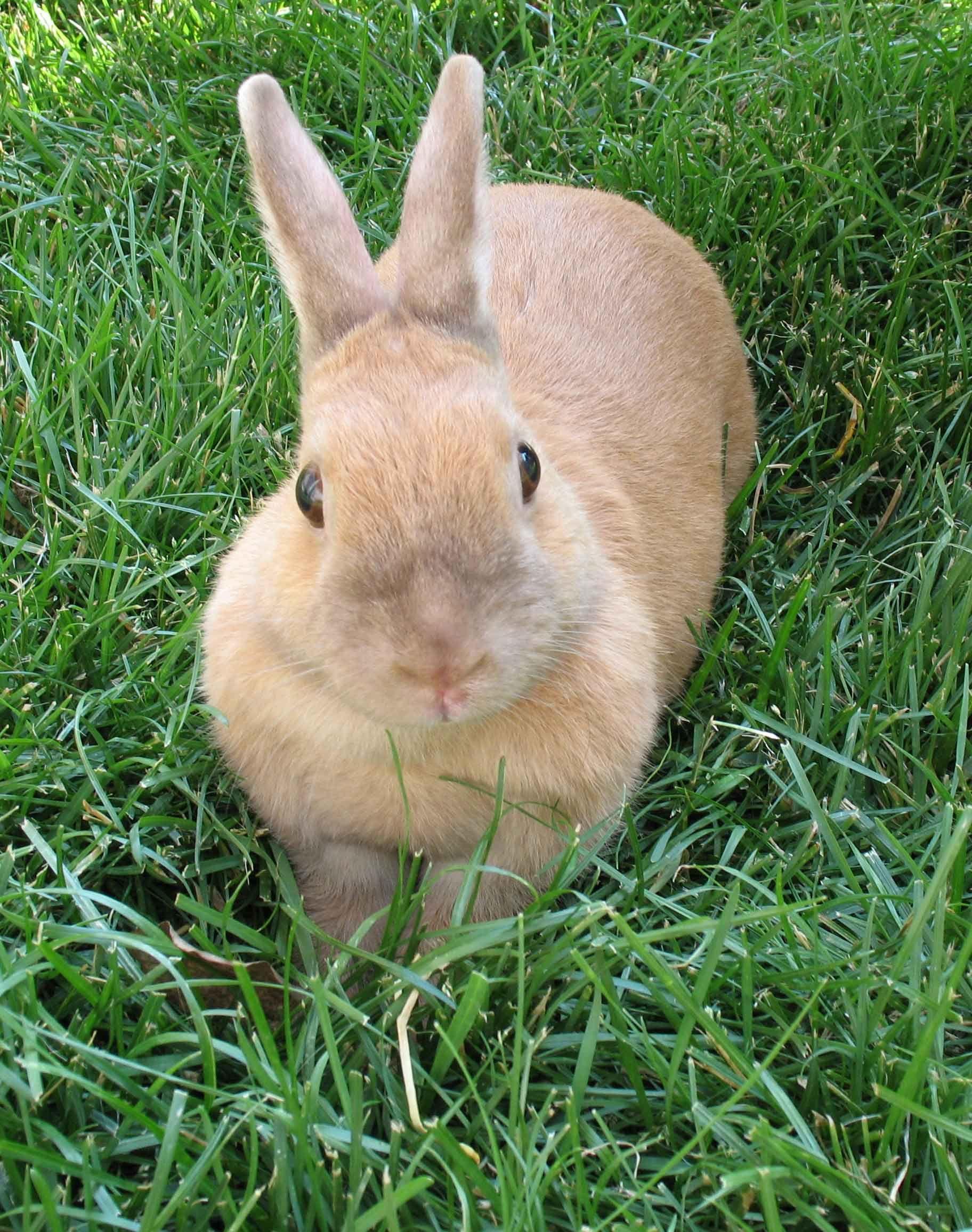 Lulu the 5-year old Netherland Dwarf rabbit.
