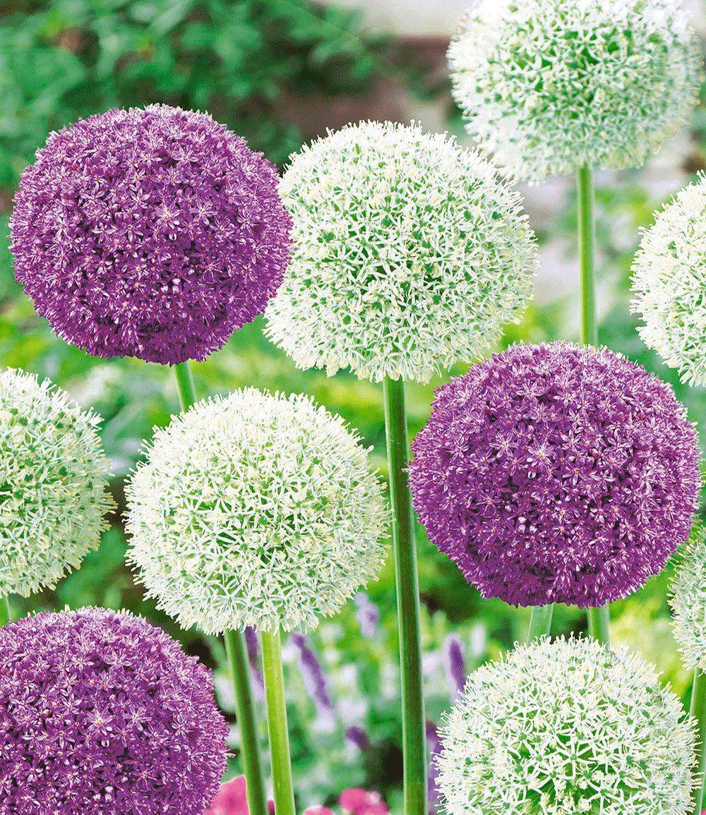 Riesen Allium DUO Gardening Pinterest