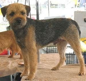 Border Terriers Need A Securely Fenced Yard To Help Keep Them Safe