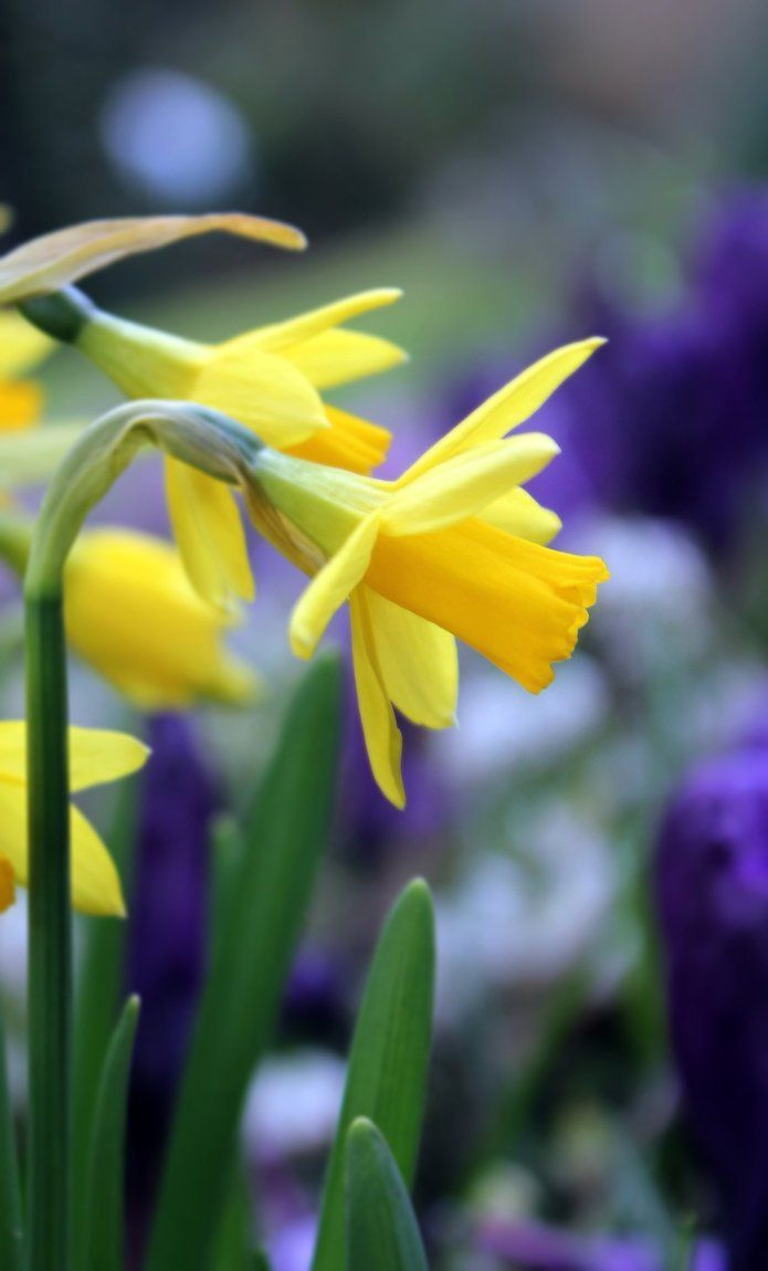 Spring Daffodils (It'sOnlyNatural by kathy)