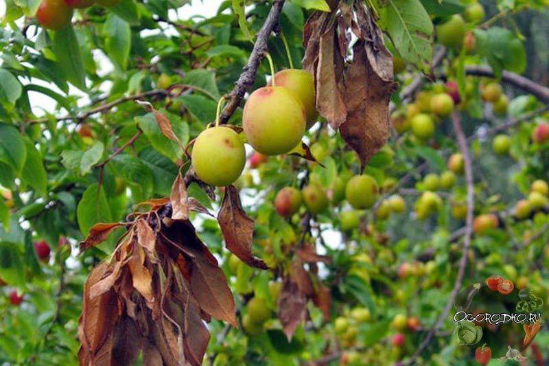 Болезни вишни – описание,  самые эффективные способы лечения, как быстро бороться – монилиоз, клястероспориоз, коккомикоз, антракноз, ржавчина, гоммоз