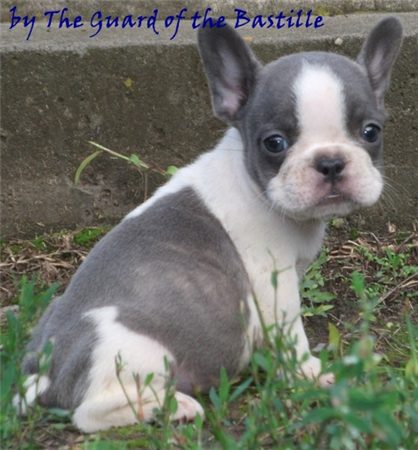 a blue pied goose! Blue pied french bulldog, Pied french