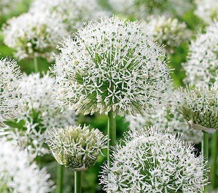 Allium Stipitatum White Giant White Flower Farm Tiny White Flowers White Flowers