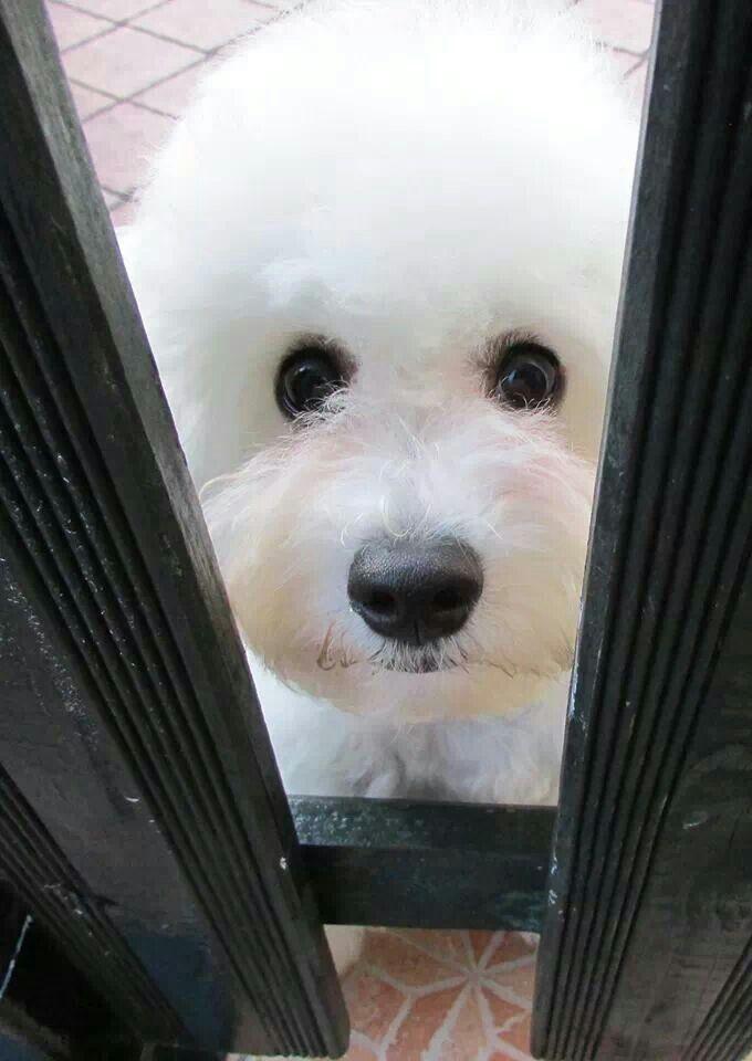 What A Face Bichon Frise Bichon Frise Dogs Bichon Dog