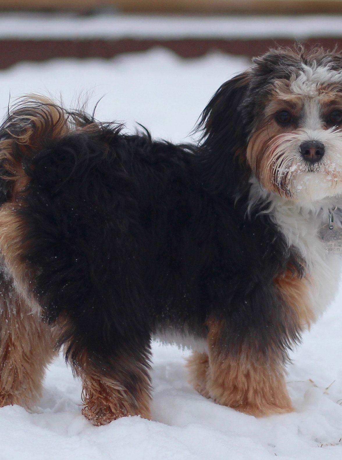 Bichon Shih Tzu Shichon Zuchon Puppies For Sale Breeder Of Quality Family Dogs Calgary Alberta Canada Zuchon Puppies For Sale Shih Tzu Shih Tzu Puppy
