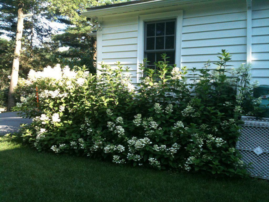 foundation shrubs landscaping