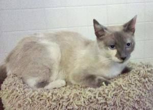 Pin On Siamese Splotched