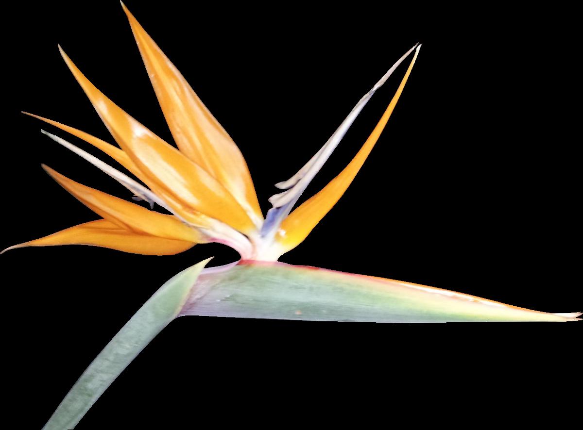 Cliparts Co Cliparts Rcj Kaa Rcjkaa8xi Png Birds Of Paradise Flower Bird Line Art