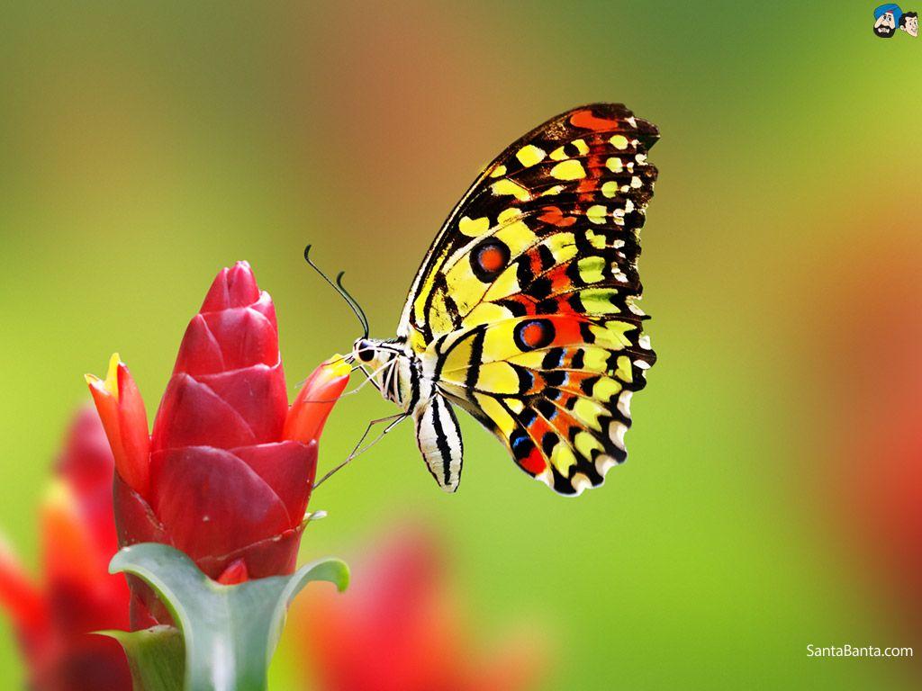 Butterfly Wallpaper 19 Most beautiful butterfly