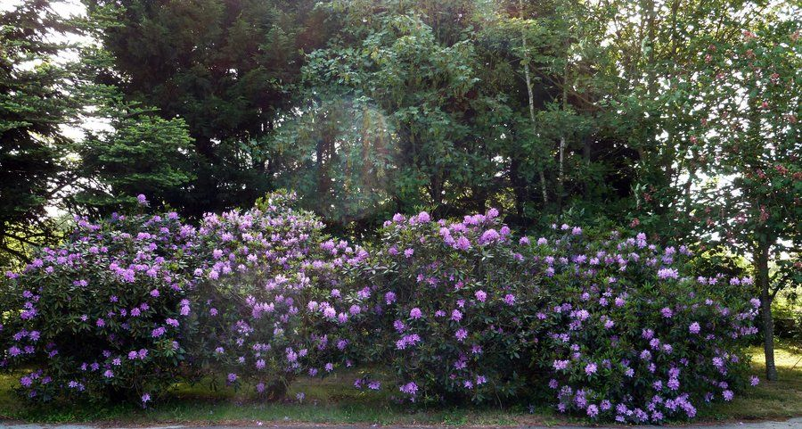 rhododendron bush | Rhododendron Bushes - Stock by *Allatwan on deviantART