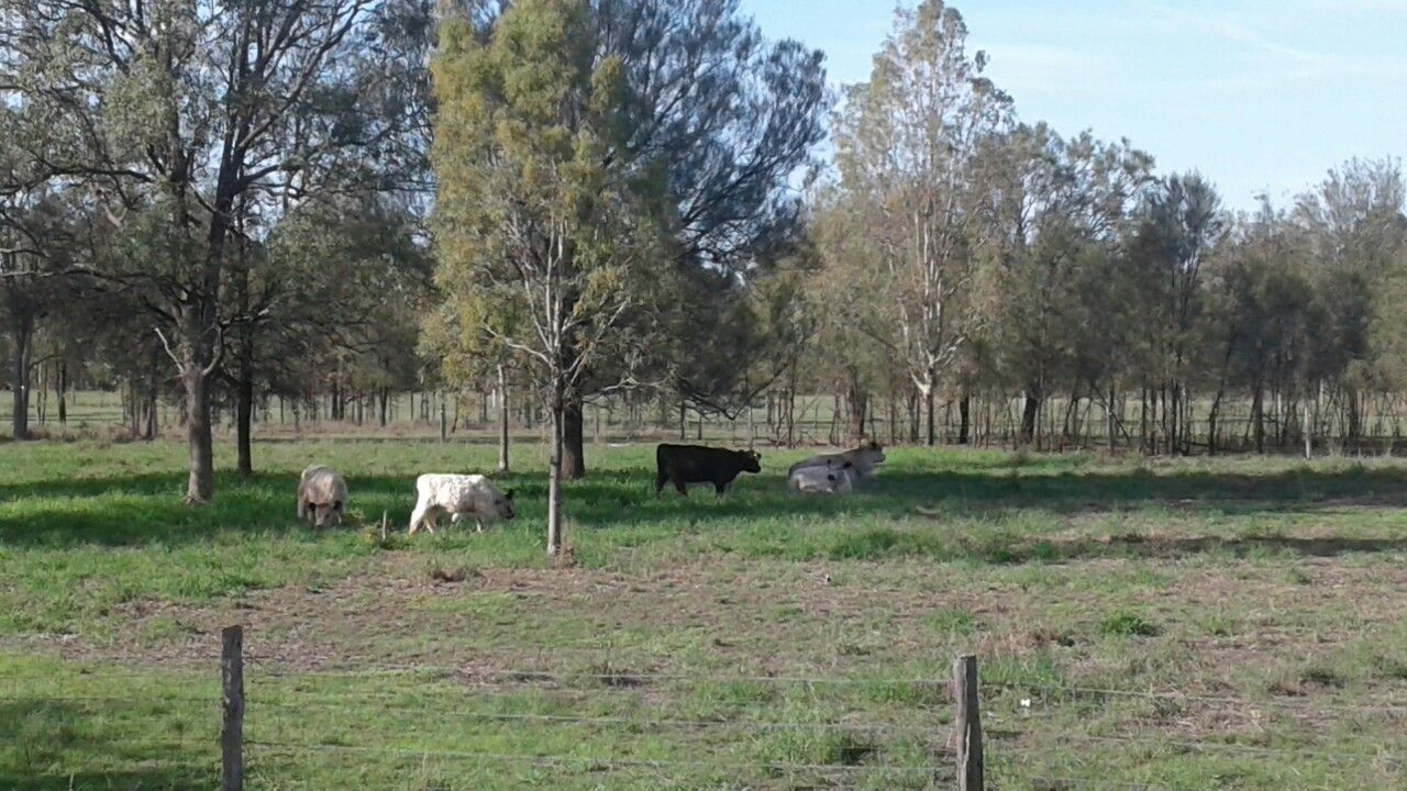 Farm Life Miniature Galloways For Sale 2019 Brisbane Gold