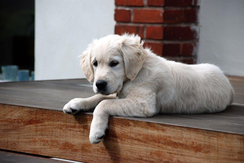 White golden retriever puppies near me