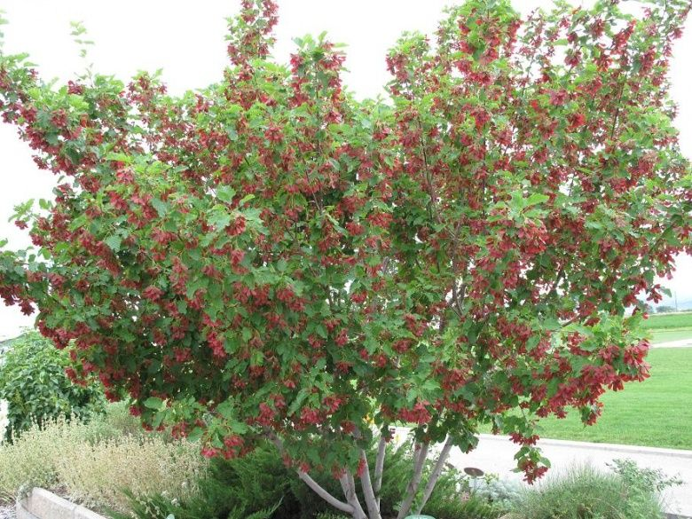 Tatarian Maple Trees