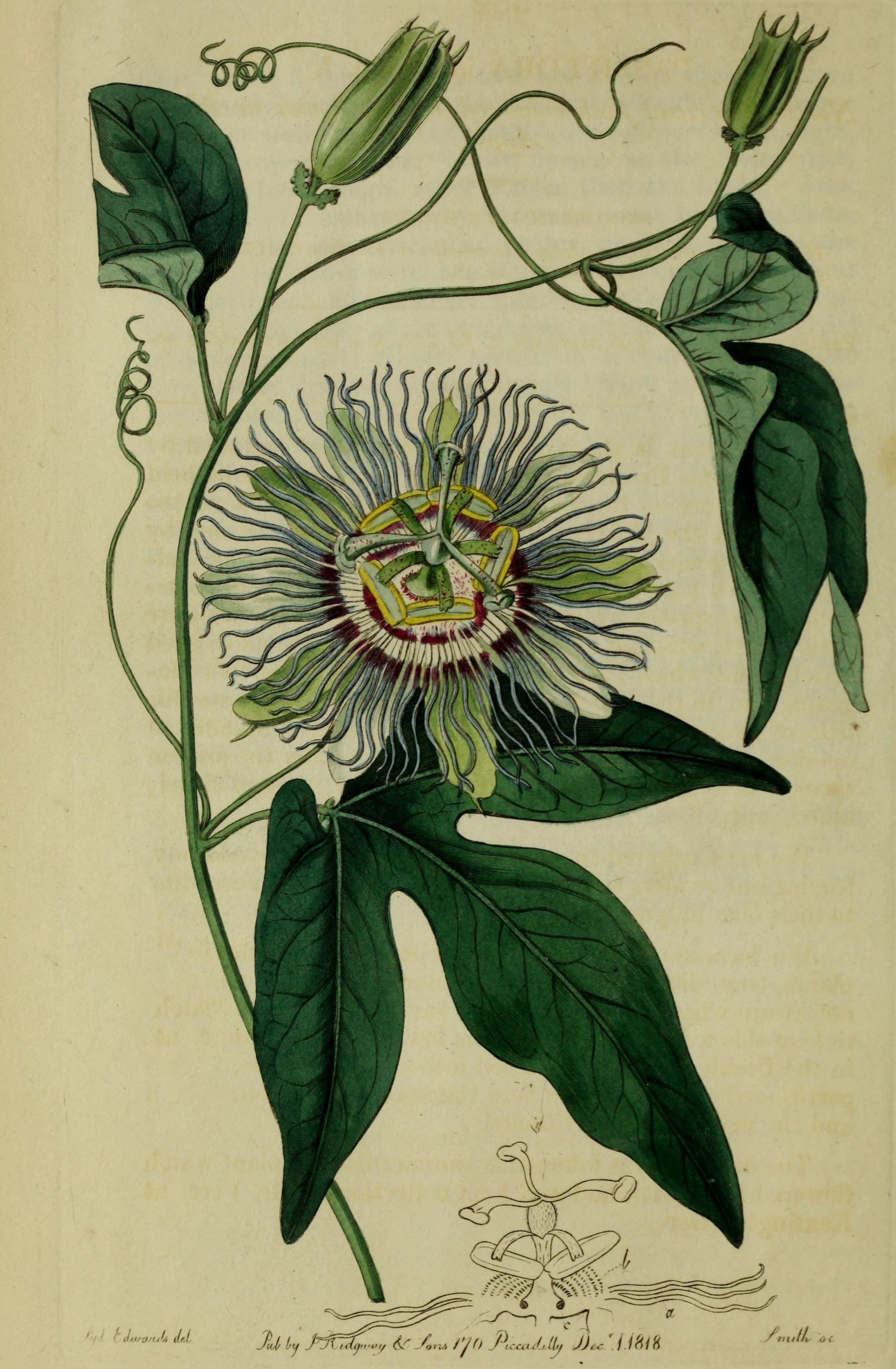 Image Result For Passionfruit Flower Art Dieren Planten