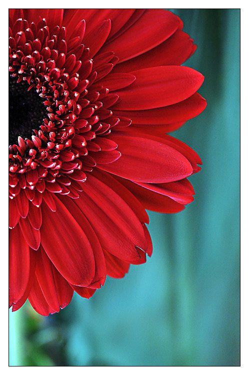 Red Gerber Daisy Flower Photograph Aqua Teal Red Fine Art Floral
