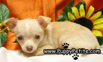 Nyc Puppy Chihuahuas For Sale Chihuahua For Sale Chihuahua